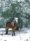 Pony with snow-covered head